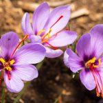 Saffron Extract Supplements – Health Benefits
